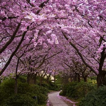The Blooming Sakura 1