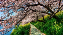 Trees in bloom - most stunning photos. Blooming Sakura Flora Pictures