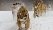 Wildlife - beautiful photos Birds Fauna Pictures Insects tigers pictures